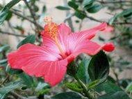hibiskus w ogrodzie